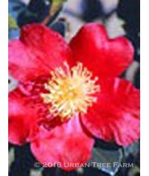 Camellia s. Yuletide