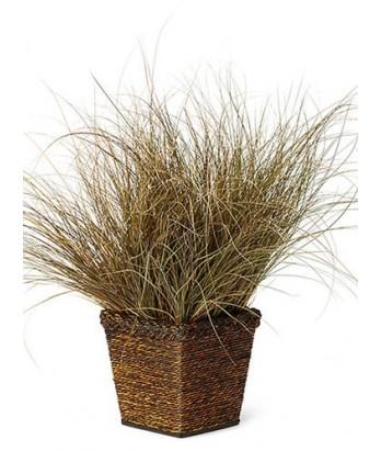 Carex flagellifera 'Toffee Twist'
