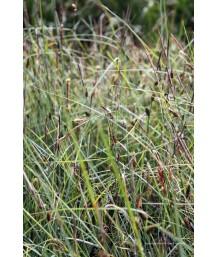 Carex glauca/flacca