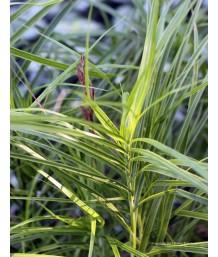 Carex musk. Oheme