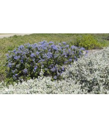 Ceanothus thyrsiflorus 'Frosty Blue'