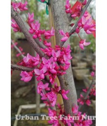 Cercis canadensis 'Appalachian Red'