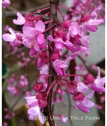 Cercis c. Covey/Lavender Twist