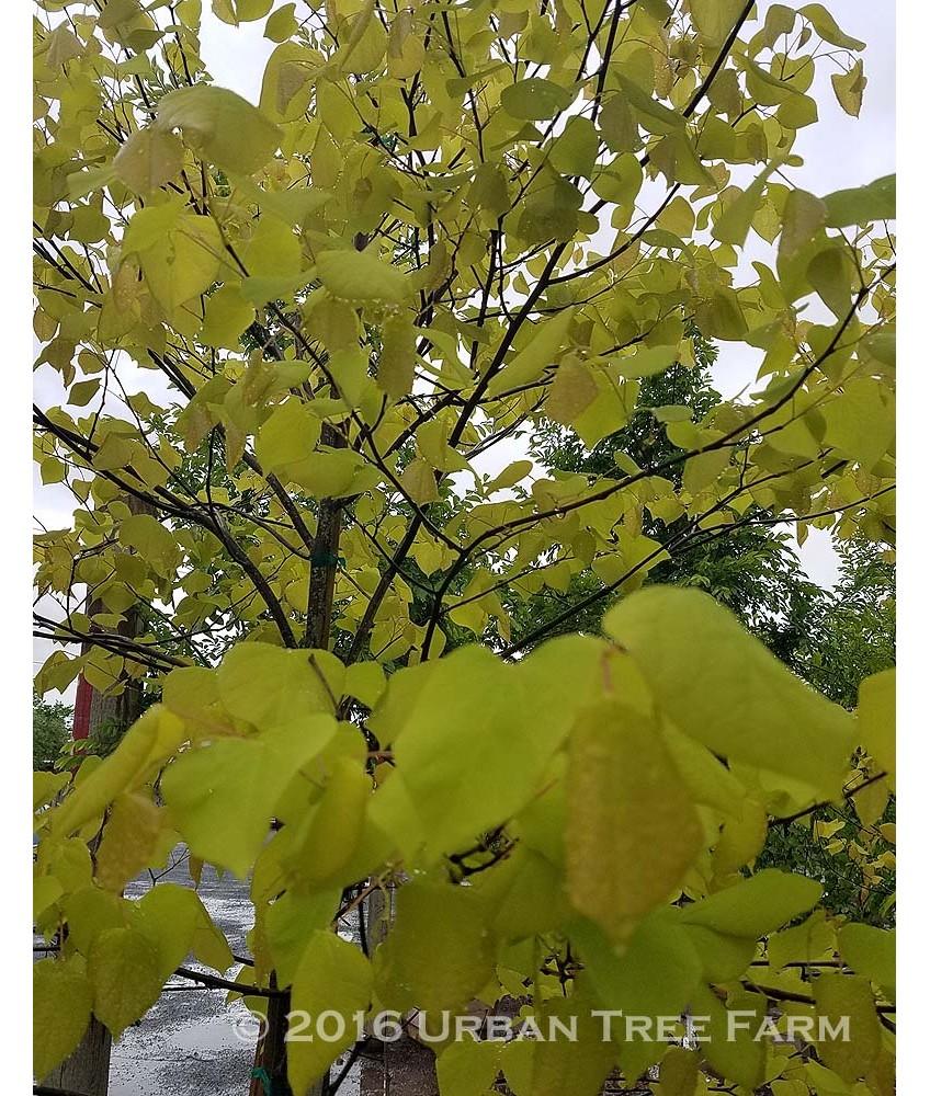 Deciduous Ornamental Shade Cercis C Hearts Of Gold Urban Tree Farm Nursery
