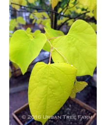 Cercis c. Hearts of Gold