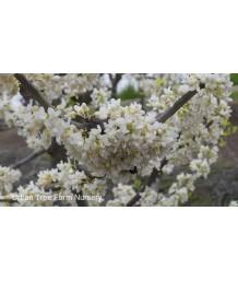 Cercis canadensis 'Texas White'