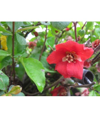 Chaenomeles Super Red