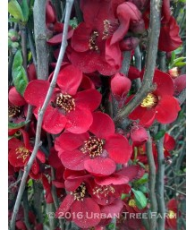 Chaenomeles 'Blood Red'