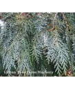 Chamaecyparis lawsoniana 'Oregon Blue'