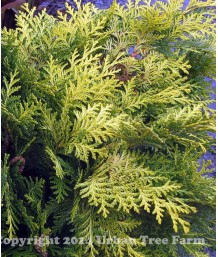 Chamaecyparis lawsoniana 'Golden King'