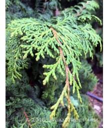 Chamaecyparis obtusa 'Willamette Elegance'
