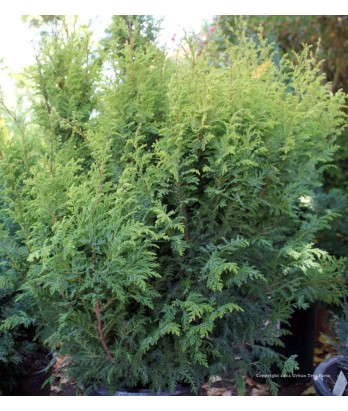 Chamaecyparis pisifera 'Tea Garden'