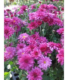 Chrysanthemum m. Raquel