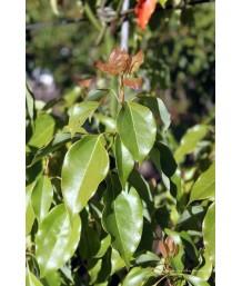 Cinnamomum camphora std