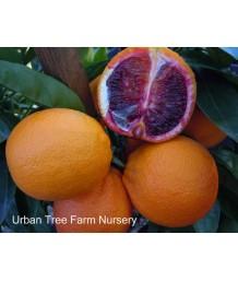 Citrus Blood Orange, Moro