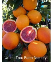 Citrus Blood Orange, Sanguinelli