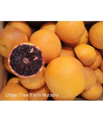 Citrus Blood Orange,Tarocco
