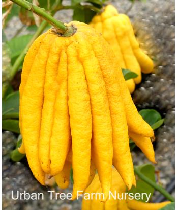 Citrus Citron, Fingered
