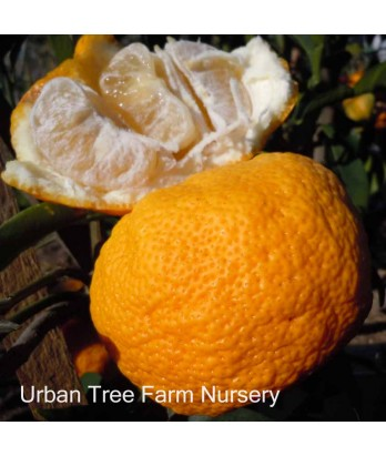 Citrus Citron, Yuzu