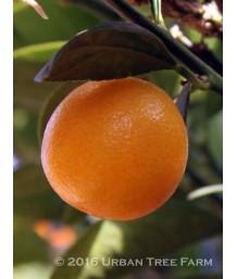 Citrus Kumquat, Fukushu