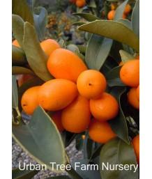 Citrus Kumquat, Nagami