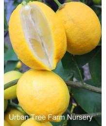 Citrus Lemon, Lisbon