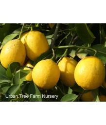 Citrus Lemon, Meyer
