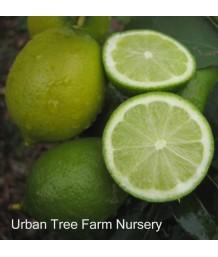 Citrus Lime, Bearss