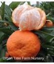 Citrus Mandarin, Clementine