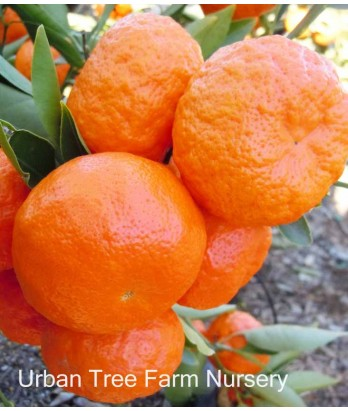 Citrus Mandarin, Dancy