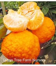 Citrus Mandarin, Gold Nugget