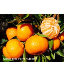 Citrus Mandarin, Kishu