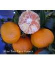 Citrus Mandarin, Murcott