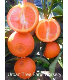 Citrus Mandarin, Page