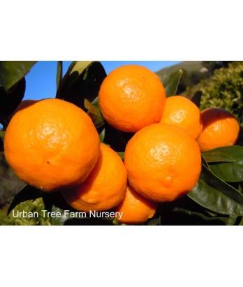 Citrus Mandarin, Pixie