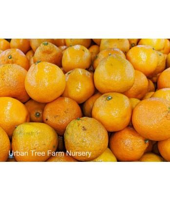 Citrus Mandarin, Satsuma