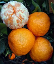 Citrus Mandarin, Tahoe Gold