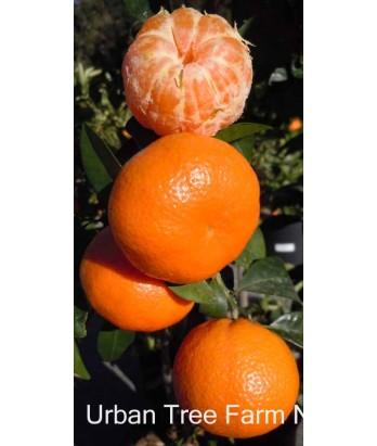 Citrus Mandarin, Tango