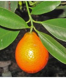 Citrus Mandarinquat, Indio