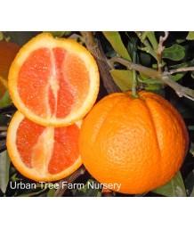 Citrus Orange, Cara Cara