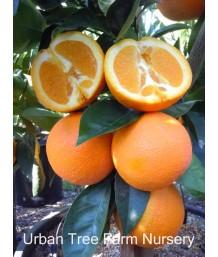 Citrus Orange, Washington