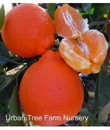Citrus Tangelo, Minneola