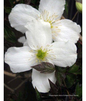 Clematis chrysocoma 'Sericea'