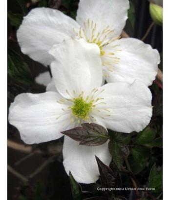 Vines clematis chrysocoma v sericea urban tree farm nursery clematis chrysocoma sericea mightylinksfo
