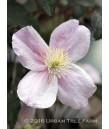 Clematis montana 'Mayleen'