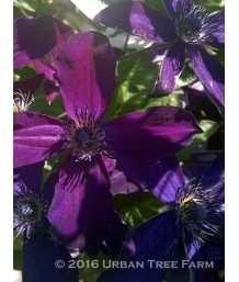 Clematis viticella 'Victor Hugo'