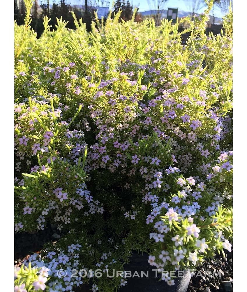 Coleonema pulchrum sunset gold - Coleonema Pulchrum Sunset Gold 45