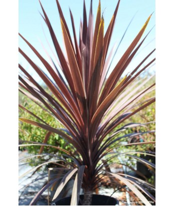 Cordyline a. Red Sensation