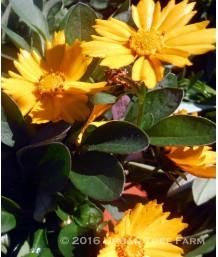 Coreopsis a. Nana
