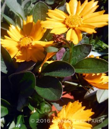 Coreopsis auriculata 'Nana'